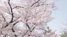 Walking through cherry blossom tree flowers. P.O.V. , Point of view shot