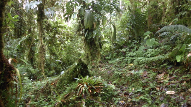 Walking through epiphyte laden cloud forest at 2200m elevation on the Amazonian slopes of the Andes in Ecuador.