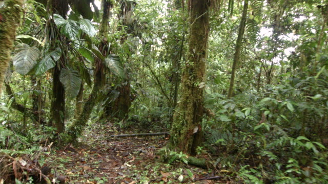 walking through epiphyte laden cloud forest at 2200m elevation on the amazonian slopes of the andes in ecuador. - tropischer regenwald stock-videos und b-roll-filmmaterial