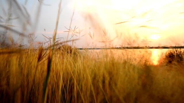 stockvideo's en b-roll-footage met walking through field of grass - volkorentarwe