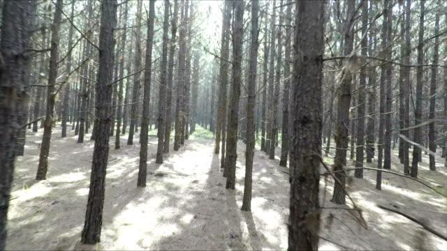 walking through forest, mpumalanga, south africa - cedar stock videos & royalty-free footage