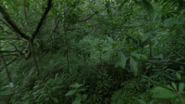 ms pov walking through rainforest vegetation, hilo, hawaii, usa - 雨林点の映像素材/bロール