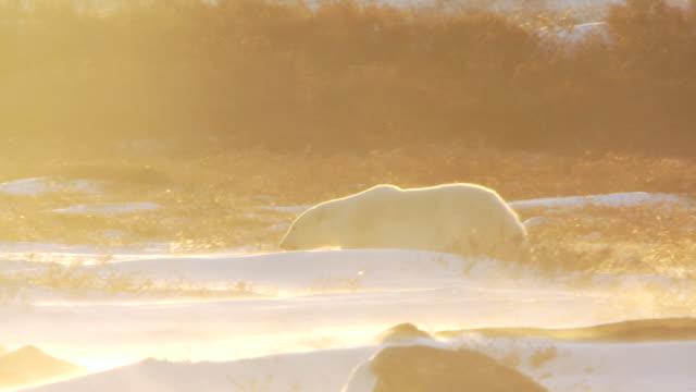 ws pan walking through snowy icy landscape at sunset time / churchill, manitoba, canada - polarklimat bildbanksvideor och videomaterial från bakom kulisserna