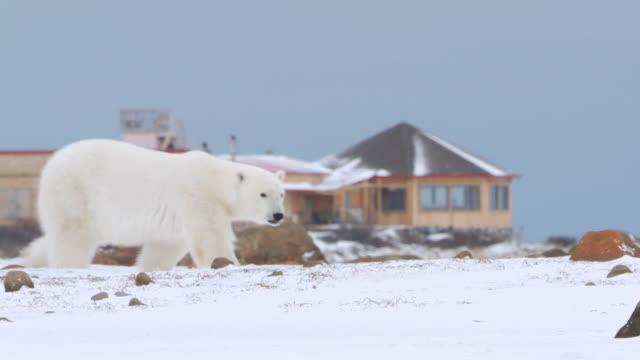 ms walking through snowy landscape near seal river tourist lodge / churchill, manitoba, canada - eisbär stock-videos und b-roll-filmmaterial