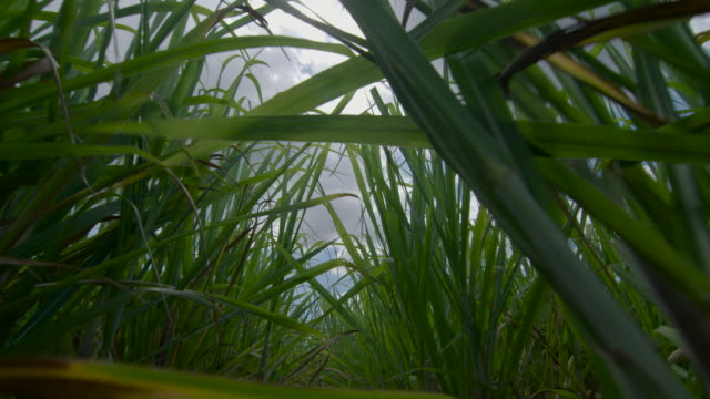 vidéos et rushes de las pov walking through sugar cane - antilles occidentales