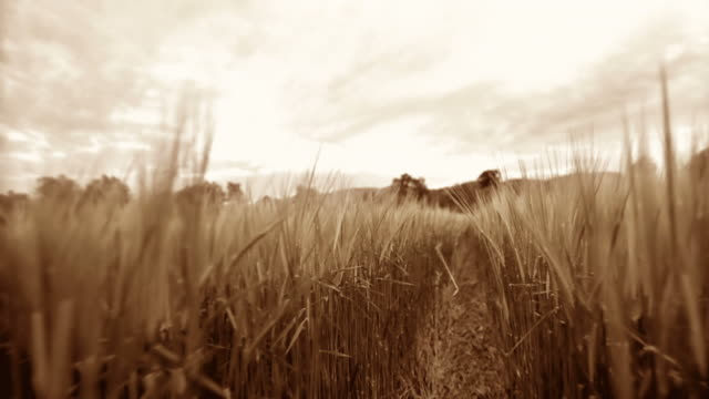 stockvideo's en b-roll-footage met hd slow-motion: walking through wheat field - sepiakleurig