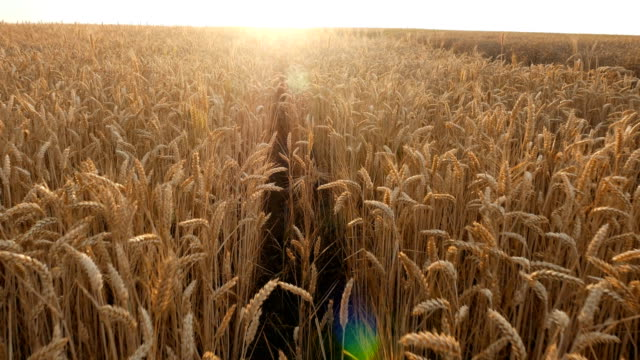 Walking through wheat field with the sunlight passing through