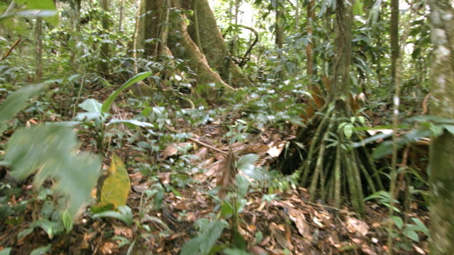 walking to a large rainforest tree with buttress roots in the ecuadorian amazon - tree trunk stock videos & royalty-free footage
