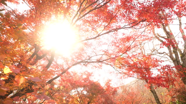 walking to sunbeam amid treetop autumn leaf - autumn leaf color stock videos and b-roll footage