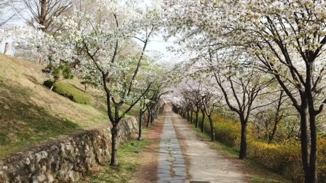 walking trail with cherry trees / wonju-si, gangwon-do, south korea - treelined stock videos & royalty-free footage