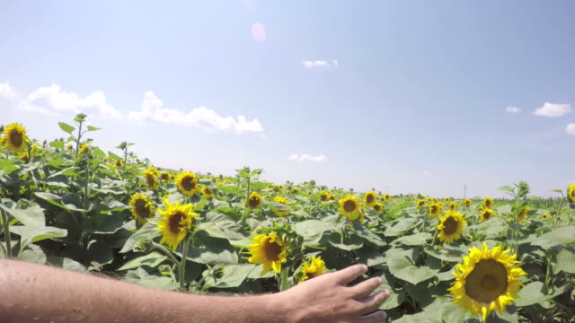 Fuß durch Sonnenblumen-Felder