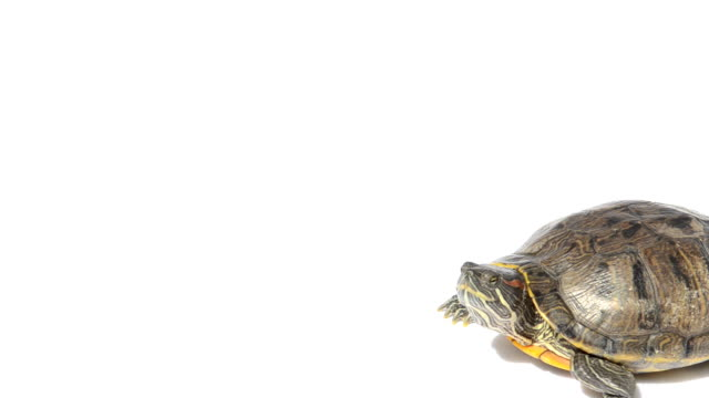 stockvideo's en b-roll-footage met walking turtle - schildpad