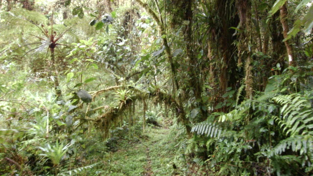 Walking under a natural arch formed by an epiphyte laden branch in cloud forest at 2200m elevation in the Ecuadorian Andes.