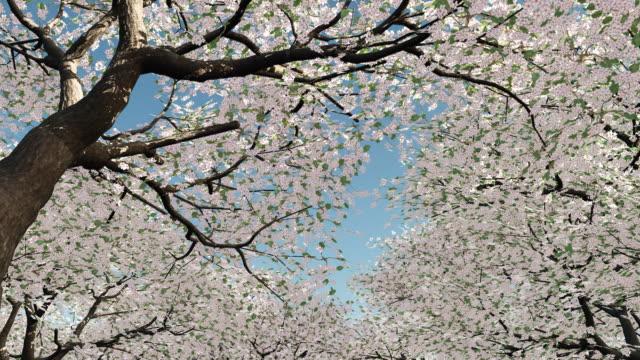 Walking under cherry trees