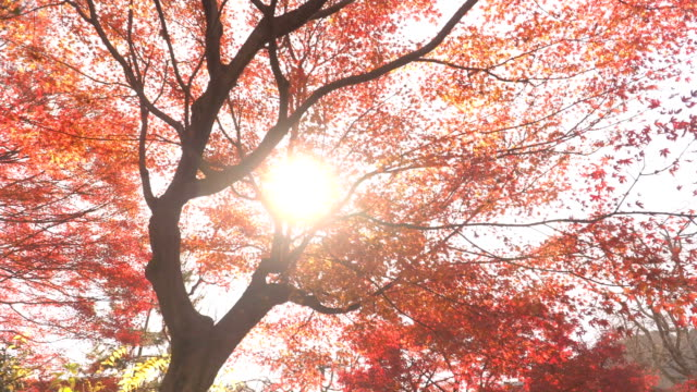 walking under sunbeam and red maple leaves