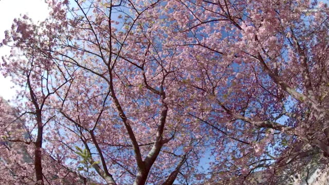 walking under the kawazu cherry blossoms - national landmark stock videos & royalty-free footage