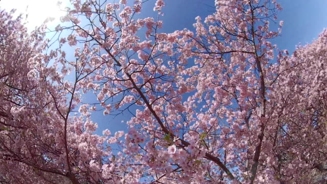 walking under the kawazu cherry blossoms - cherry blossom stock videos & royalty-free footage
