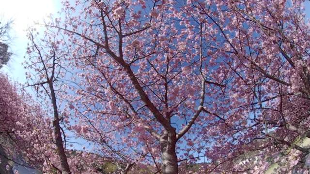 walking under the kawazu cherry blossoms - treelined stock videos & royalty-free footage