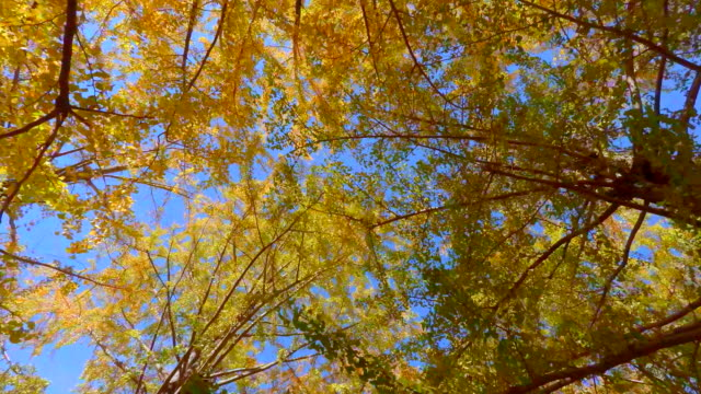 Walking under the tree of colored leaves -4K-