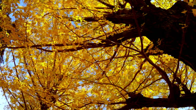 walking under the tree of colored leaves -4k- - plusphoto stock videos & royalty-free footage