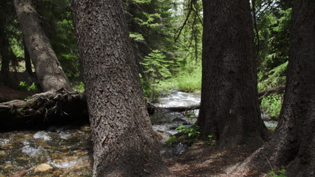 walking view through trees and small river. - aspen tree stock videos & royalty-free footage