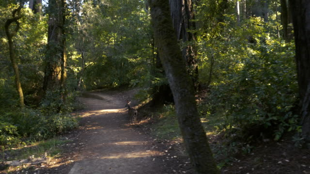 Walking with a Deer on a Trail in the California Redwoods