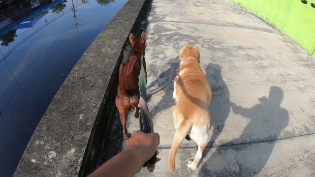 wandern mit hunden, thai ridgeback und labrador retriever - haustierleine stock-videos und b-roll-filmmaterial