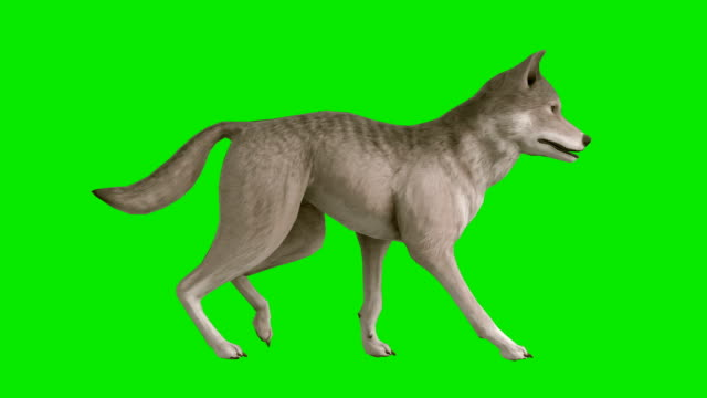 walking wolf green screen (loopable) - dog tail stock videos and b-roll footage