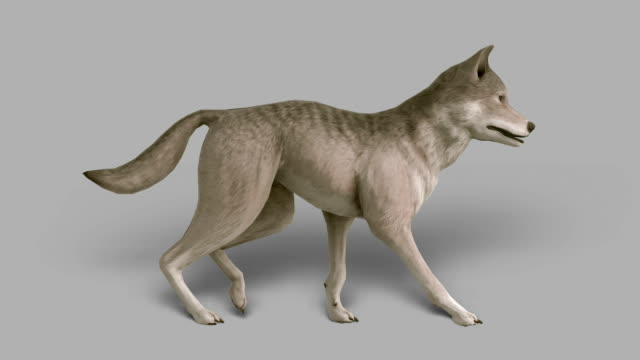 Walking Wolf with Alpha Channel (Loopable)