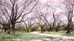 Walkway under the sakura tree which is the romantic atmosphere scene in Tokyo Japan