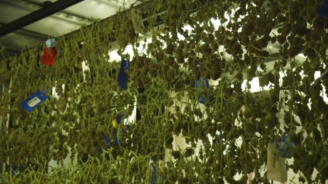 vídeos y material grabado en eventos de stock de wall of hanging marijuana in grow facility, montage - marihuana hierba de cannabis