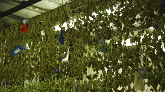 wall of hanging marijuana in grow facility, montage - marijuana herbal cannabis stock videos & royalty-free footage