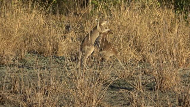 ワラビーの戦い - カンガルー点の映像素材/bロール
