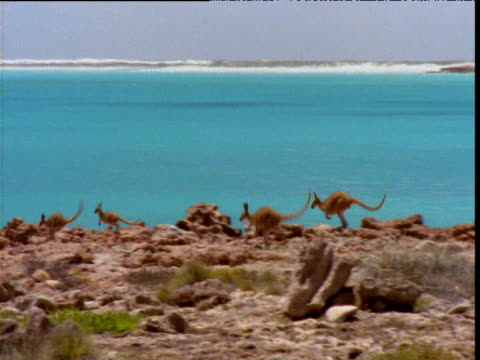 Wallabies jump over cliff top in front of turquoise sea, Eighty Mile Beach, Western Australia