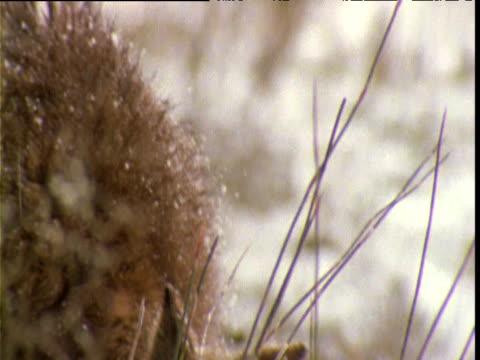 Wallaby grazes in snow, Cradle Mountain, Tasmania