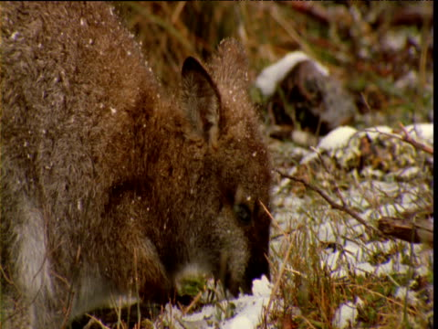 Wallaby grazes in snow, Cradle Mountain, Tasmania