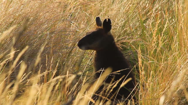 wallaby in the grass - 40 seconds or greater stock videos & royalty-free footage