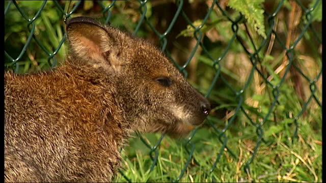 wallaby killed by intruder at london animal park england london hanwell brent lodge animal park ext wallaby 'rolph' in zoo enclosure close shot... - ealing stock videos and b-roll footage