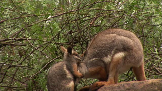 vídeos de stock, filmes e b-roll de a wallaby mother grooms her joey on a rock. - marsupial