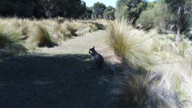 Wallaby on sandy bush track