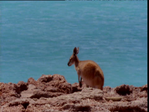 Wallaby sits on rocky cliff, turquoise sea behind, Eighty Mile Beach, Western Australia