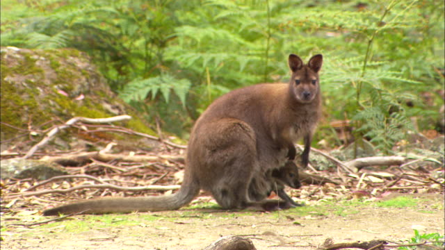 a wallaby stands with its joey. - beuteltier stock-videos und b-roll-filmmaterial