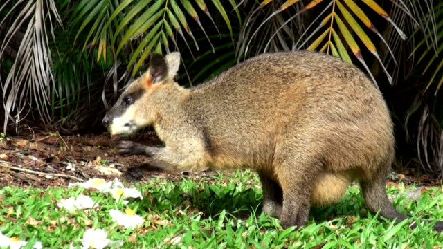 wallaby - feeding stock videos & royalty-free footage