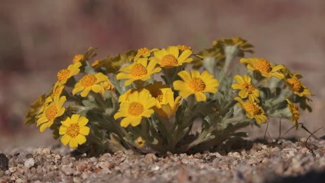 wallace's wooly daisy, eriophyllum wallacei,, joshua tree national park - daisy stock videos & royalty-free footage