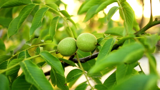 walnut tree - unripe stock videos and b-roll footage