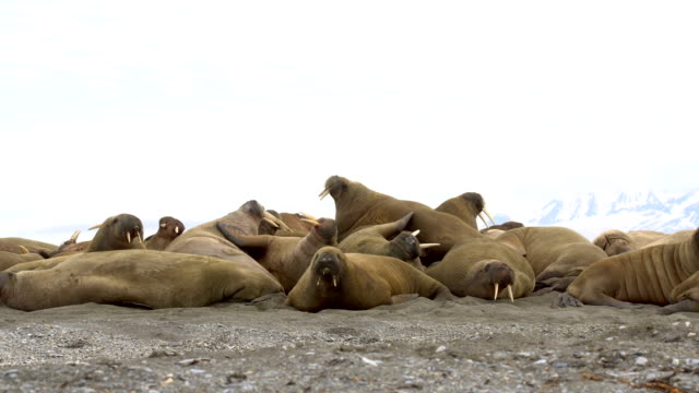 Walrus (Odobenus rosmarus)- a crowded group on land in the sun, Svalbard