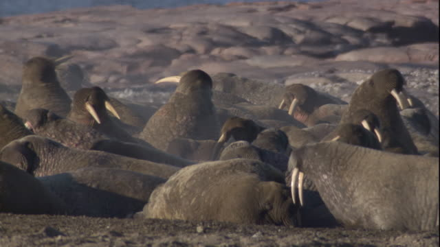 Walrus colony on Arctic coast. Available in HD.