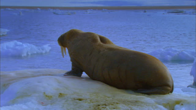 Walrus crawling on the ice field