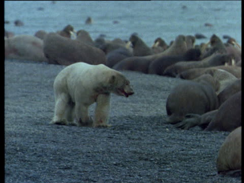 walrus defends itself from polar bear attack, wrangel island - polarklima stock-videos und b-roll-filmmaterial