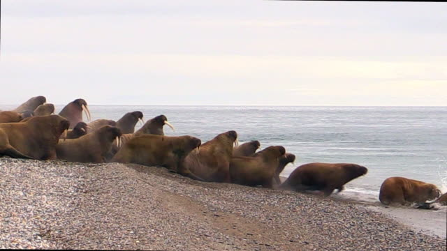 Walrus group on land, some move into water, Svalbard, Norway